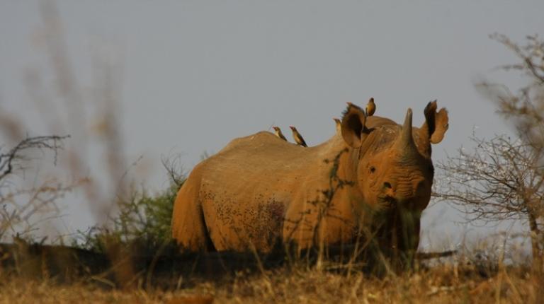 Black rhino with oxpeckers